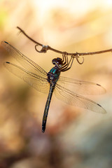 Dragonfly in tropical forests