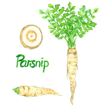 Parsnip root, green plant, leaves and cut slice, isolated hand painted watercolor illustration