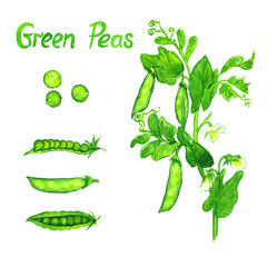 Green peas branch with flowers, leaves and pods, the pods open and close, isolated hand painted watercolor illustration