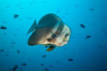 Big flat fish floating in deep blue ocean