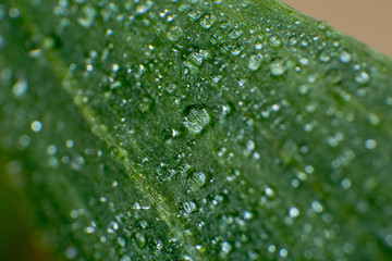 spring summer green leafs waterdrops macro picture useful for background