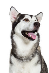 Portrait Alaskan Malamute, isolated on white. Close-up