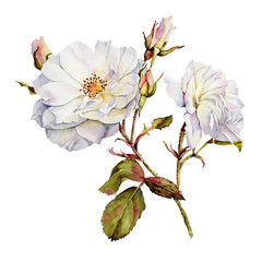 Watercolor with a white Rose flower