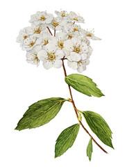 Spirea bush flower watercolor