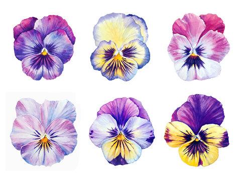 Set of six Botanical watercolor  Pansies blooms