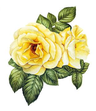 Yellow roses watercolor