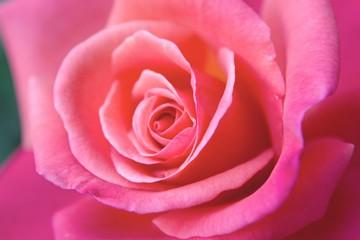 Closeup of pink rose