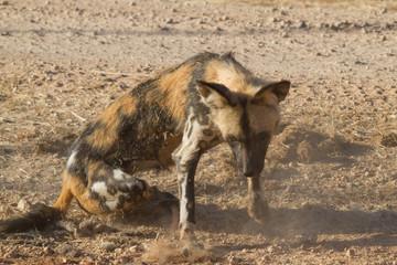 Wild Dog, Madikwe Game Reserve