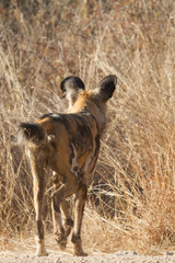 Wild Dog, Madikwe Game Reserve
