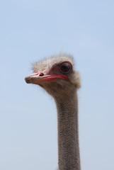 Very Long Neck on an Ostrich Bird