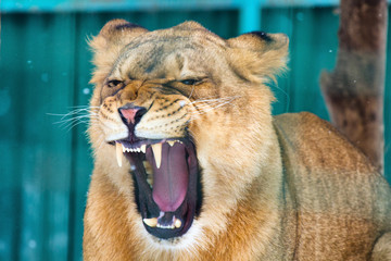 Closeup of roaring lioness during the winter