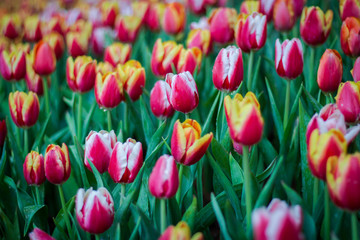 Flower tulips background. Beautiful