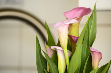Spring Cleaning Flowers Blooming Calla Lily with Pink flowers at home in kitchen