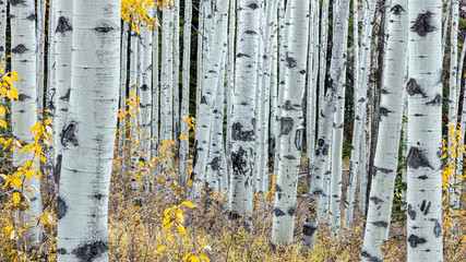 Forest of Aspen trees in jasper national park, alberta, canada. taken with the canon 5dsr camera