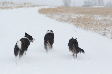 Happy dogs running in the snow on a trail