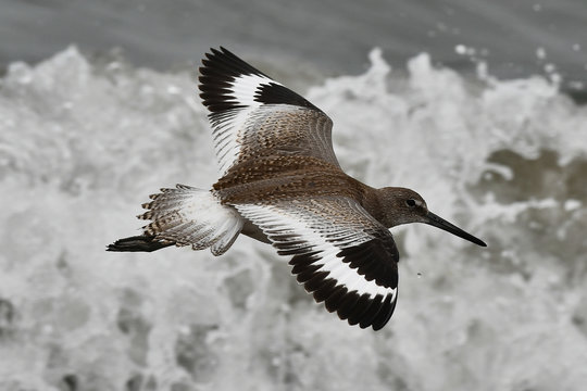 Willet flying by with wings spread top view