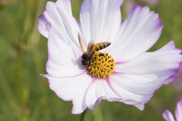 Bee on white flower in garden