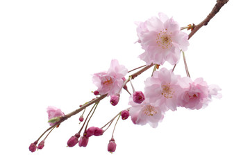 Full bloom sakura flower tree isolated, pink japan flora bush, spring floral branch on white background. Treetop of Cherry blossom petal leaf. Wall mural