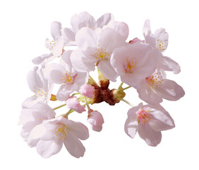Full bloom sakura flower tree isolated with clipping path, pink japan flora bush, spring floral branch on white background. Treetop of Cherry blossom petal leaf.