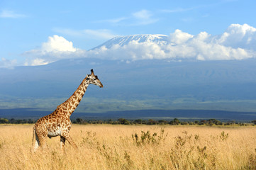 Wall Mural - Giraffe on Kilimanjaro mount background