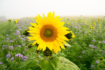 Close up of a sunflower with other sunflowers and Phacelia as green manure on a misty autumnal field