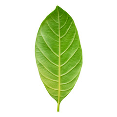 Closeup texture of fresh green leave of the tree isolated on white background with clipping path.