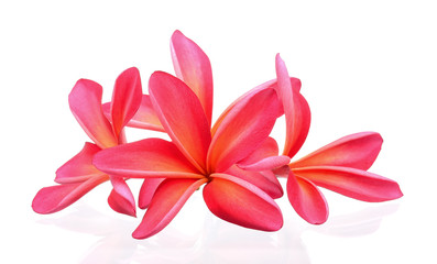 frangipani flower isolated on the white background