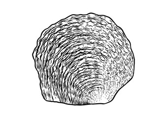 Pearl oyster shell illustration, drawing, engraving, ink, realistic