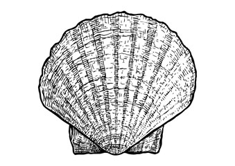 Scallops, clam, shell  illustration, drawing, engraving, ink, realistic