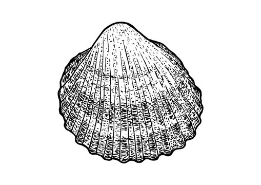 Cockle, shell  illustration, drawing, engraving, ink, realistic