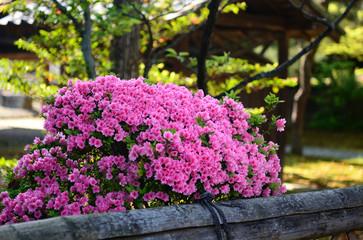 ツツジ 日本庭園 京都 Azalea flower at Japanese garden, Kyoto Japan