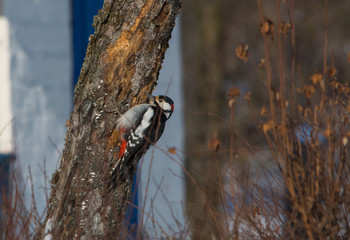 Woodpecker on his work