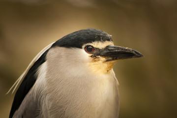 Vogelportrait einer Dommelart
