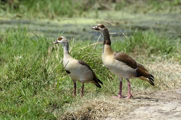 Ouette d'Égypte,.Alopochen aegyptiaca, Egyptian Goose, Parc national Kruger, Afrique du Sud