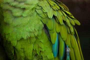 Green military macaw (Ara militaris)