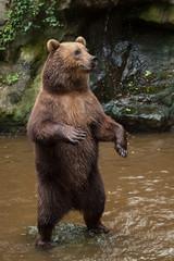 Kamchatka brown bear (Ursus arctos beringianus)