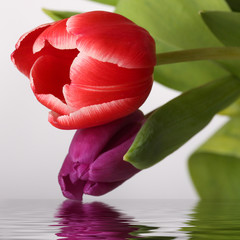tulips reflected in the water