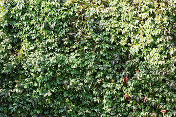 The wall of vines with green leaves background