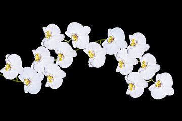 Orchid flower isolated on black background.