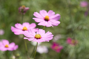 Pink Cosmos flower in the Park