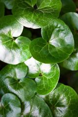 Shiny green leaves of asarabacca (Asarum europaeum)