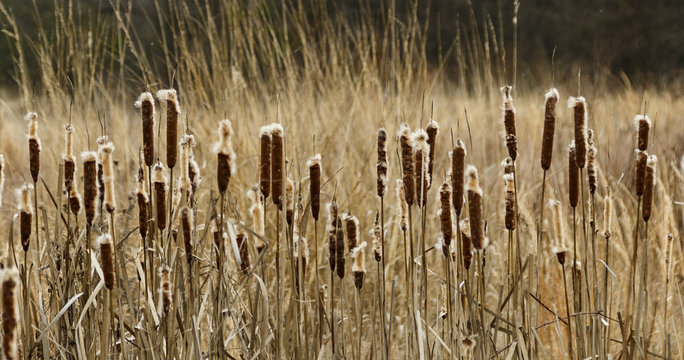 Field of Cat Tails