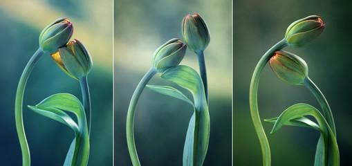 Leinwandbilder - Tulipany na zielonym tle - tryptyk