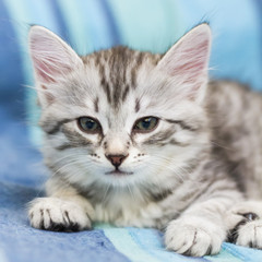 baby cat of siberian breed, silver version