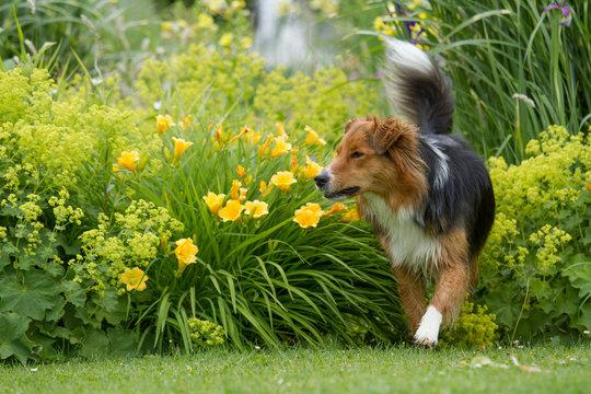Australian Sehpherd Mix Hund beim Spielen im Park