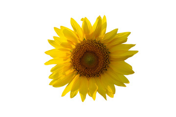 Sunflowers isolated  White background