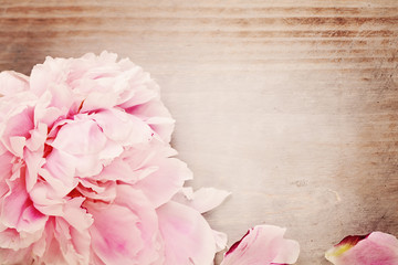 Spring Background with Pink Peony Flower and Copy Space for Text