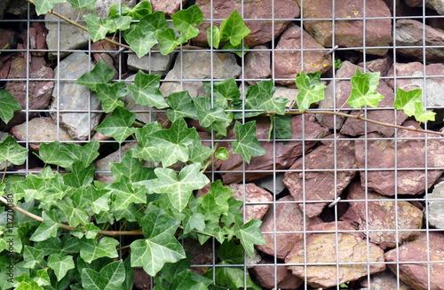 Gabione bepflanzt mit efeu stockfotos und lizenzfreie - Gabionenwand bepflanzen ...