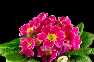 Gocce d'acqua su petali di primule