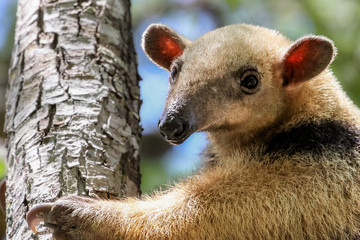 Close up of a Southern tamandua climbing up a tree, Pantanal, Brazil
